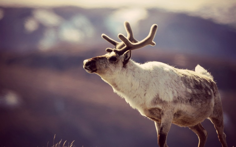 Reindeer-Beautiful-Gorgeous-Background2pic