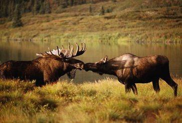 elk-2-big